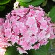 Hydrangea macrophylla EXPRESSION (You & Me Series) (H)